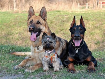 Apartments That Accept German Shepherds And Dobermans